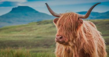 Las vacas peludas de las Tierras Altas de Escocia