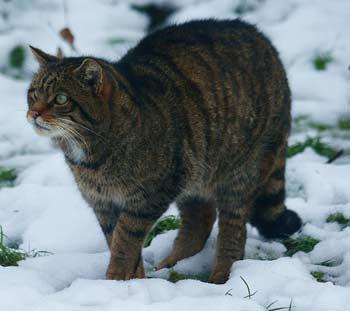 Gato salvaje escocés. Wikipediaorg