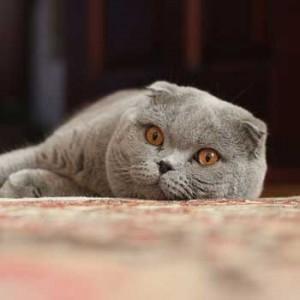 Gato Fold escocés -- Wikipedia.org -- Psihopat