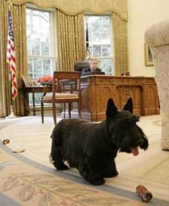 Scottish terrier de G.W. Bush -- Wikipedia.org -- Eric Draper