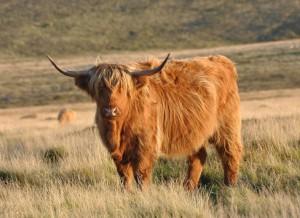 vaca peluda escocesa de las highlands