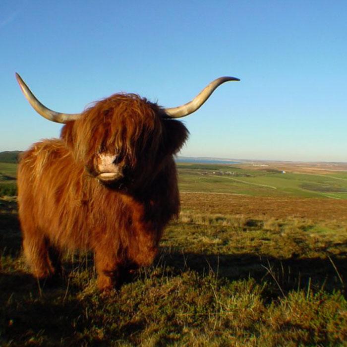 vaca escocesa