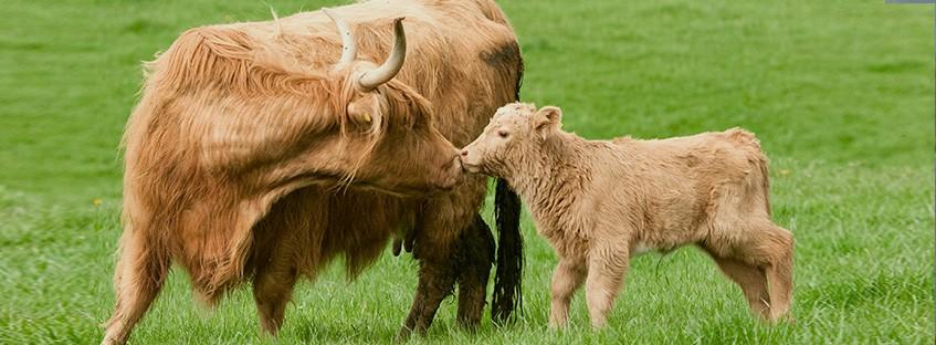 Vaca peluda con un ternero