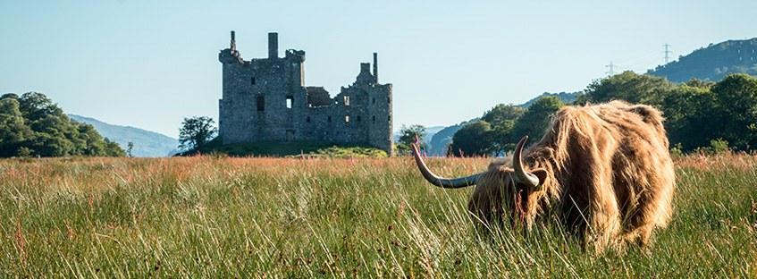 Vaca en paisaje escoces